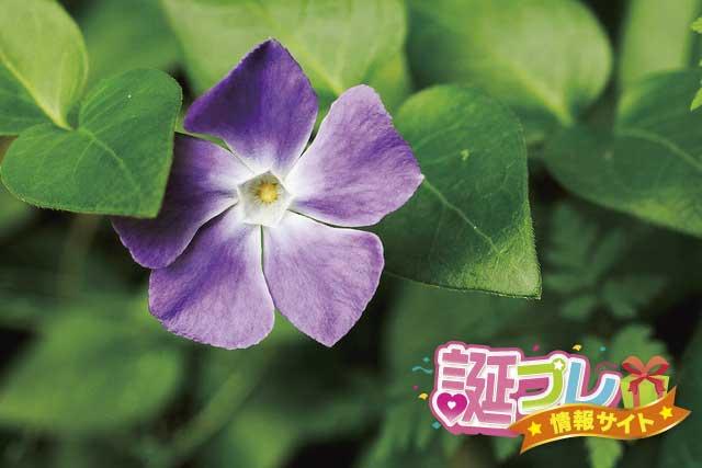 ツルニチソウの花の画像