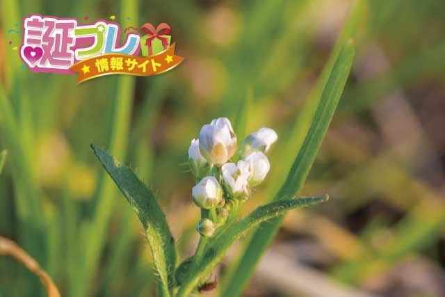 タネツケバナの花の画像