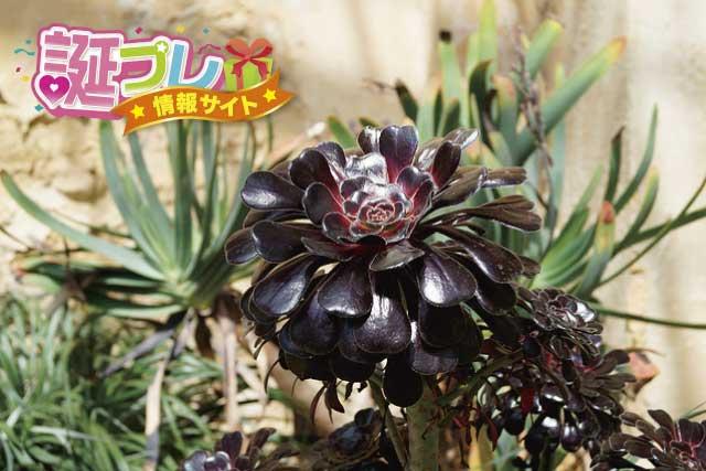 黒い薔薇の画像