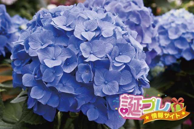 青色の紫陽花の画像