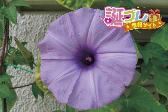 琉球朝顔の画像