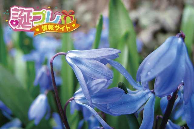 青いスミレの画像