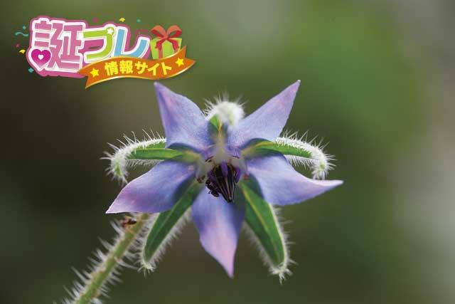 ルリジサの花の画像