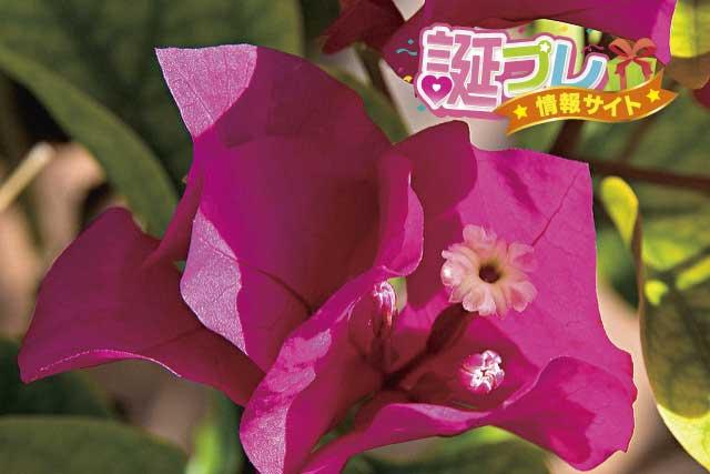 ブーゲンビリアの花の画像