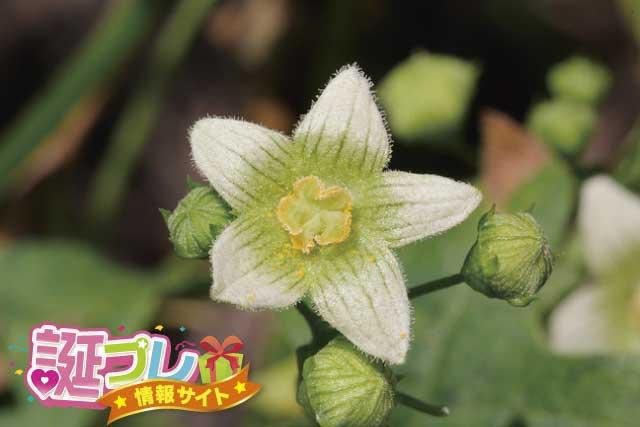 ブリオニアの花の画像