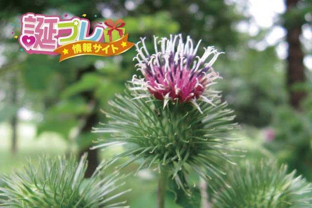 ごぼうの花の画像
