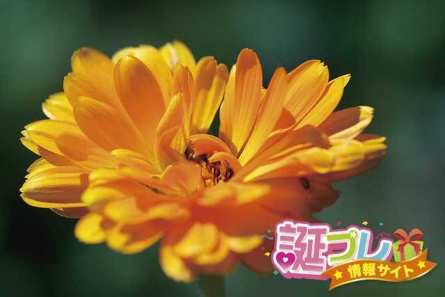キンセンカの花の画像