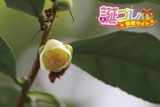 茶の花の画像