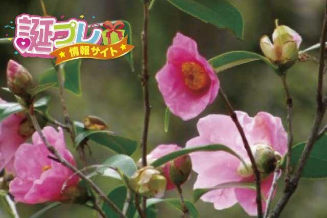 侘助の花の画像