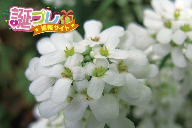 イベリスの花の画像