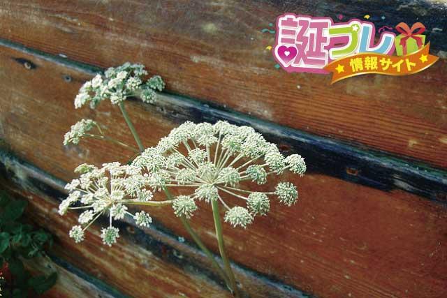 キャラウェイの花の画像