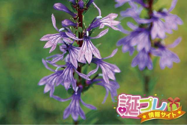 サワギキョウの花の画像