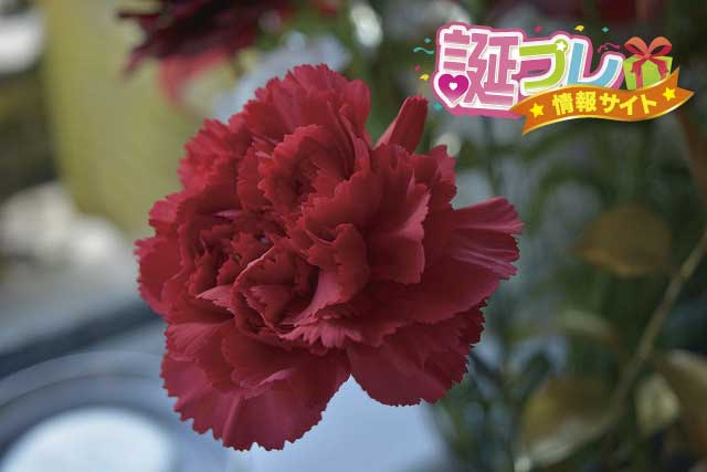 カーネーションの花の画像