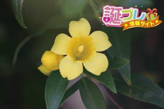 カロライナジャスミンの花の画像