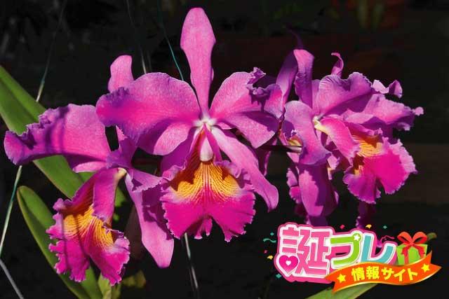 カトレアの花の画像