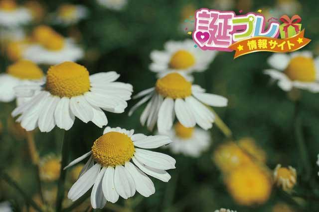 カモミールの花の画像