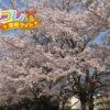 日本人にとって特別な花の桜(さくら)の花言葉は8つの言葉
