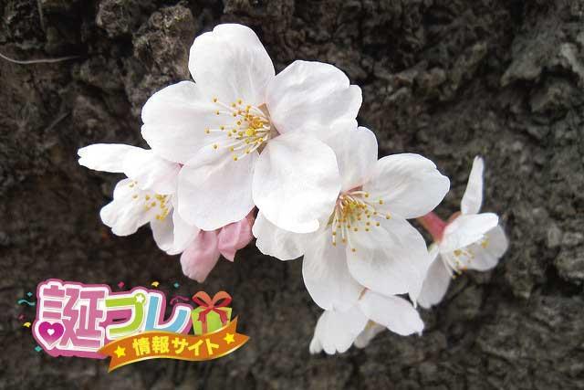 さくらんぼの花の画像