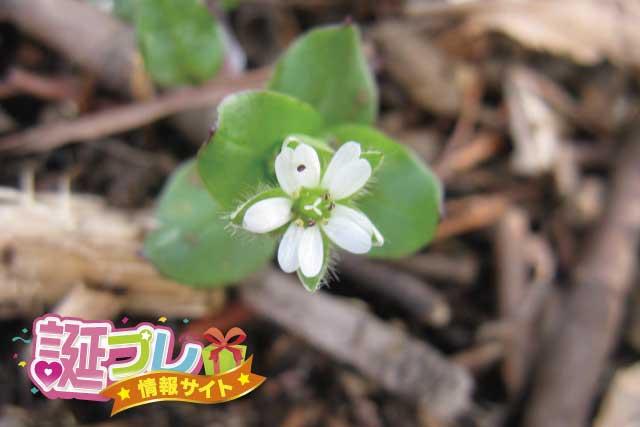 ハコベの花の画像