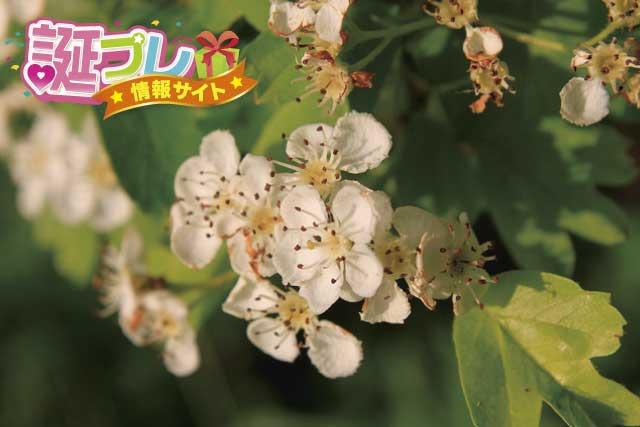 サンザシの花の画像