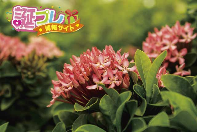 サンタンカの花の画像