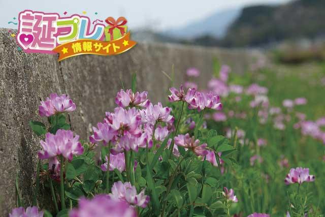 蓮華草の画像