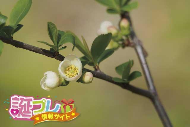 カリンの花の画像