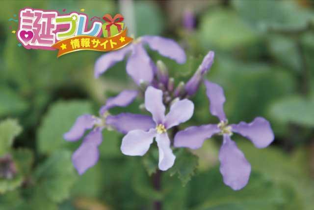 ムラサキハナナの花の画像