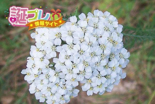 ノコギリソウの花の画像
