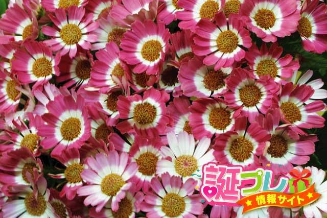 サイネリアの花の画像