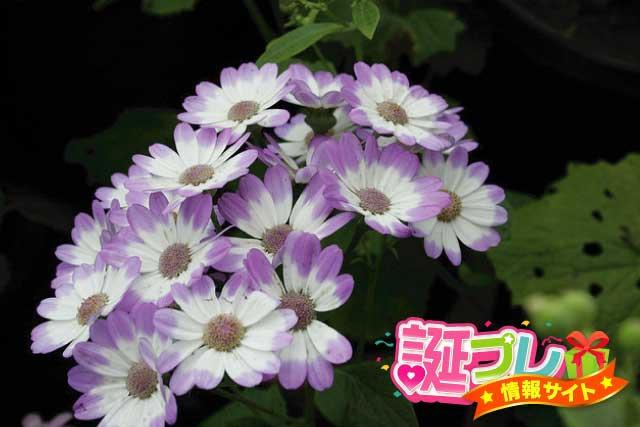 紫色のサイネリアの画像