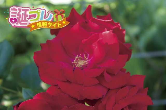 つるバラの花の画像