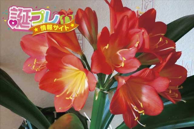 君子蘭の花の画像