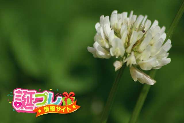 クローバーの花の画像