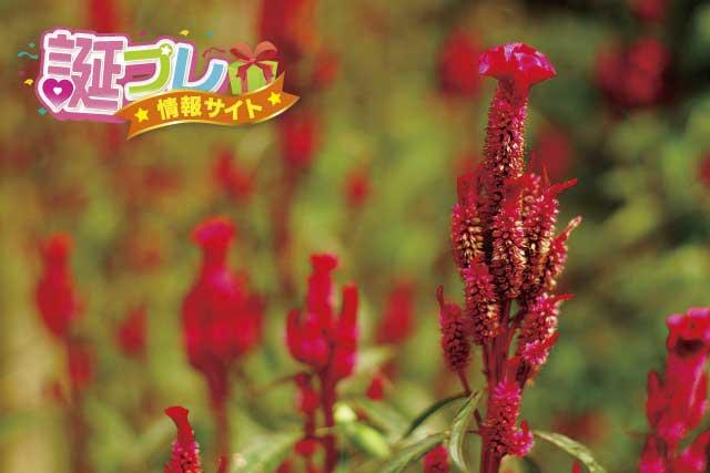 ケイトウの花の画像