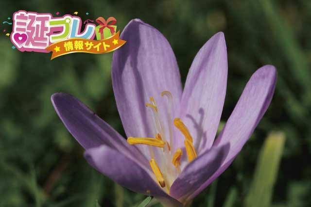 イヌサフランの花の画像