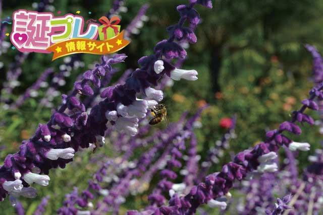 セージの花の画像