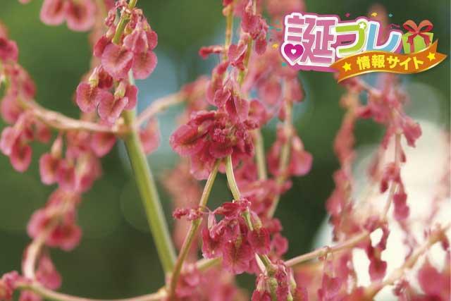 スイバの花の画像