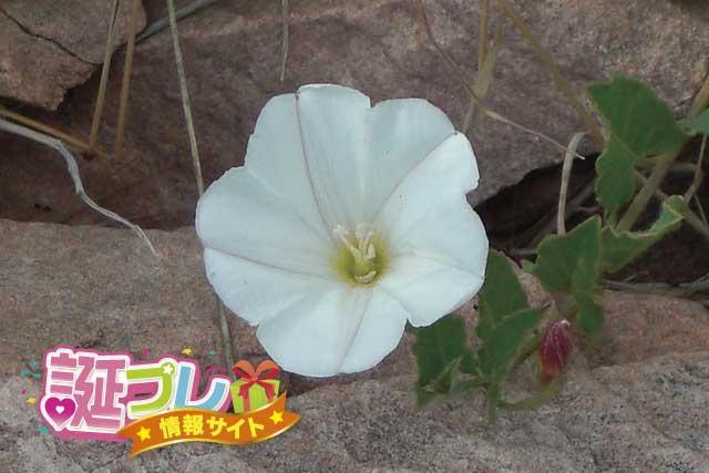 コンボルブルスの花の画像
