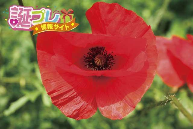ヒナゲシの花の画像