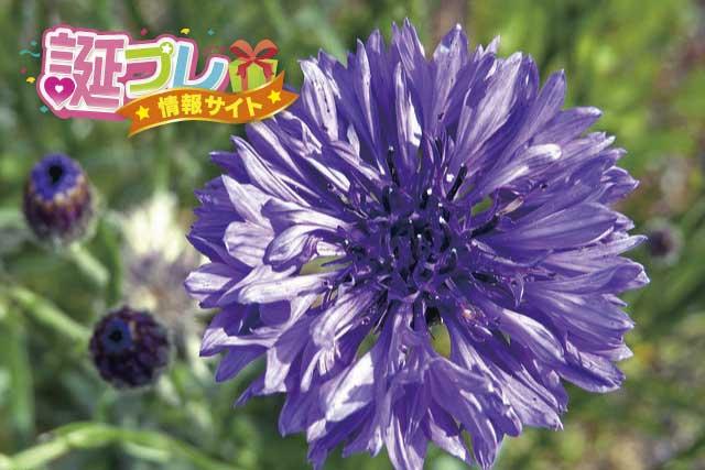 ヤグルマギクの花の画像