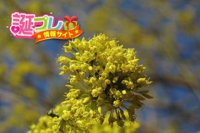 サンシュユの花の画像
