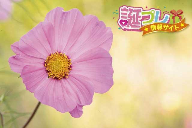 コスモス花の画像
