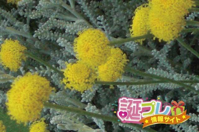 サントリナの花の画像