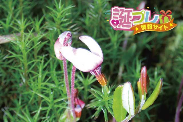 ツルコケモモの花の画像
