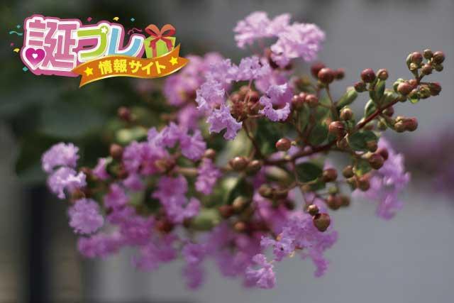 百日紅の花の画像