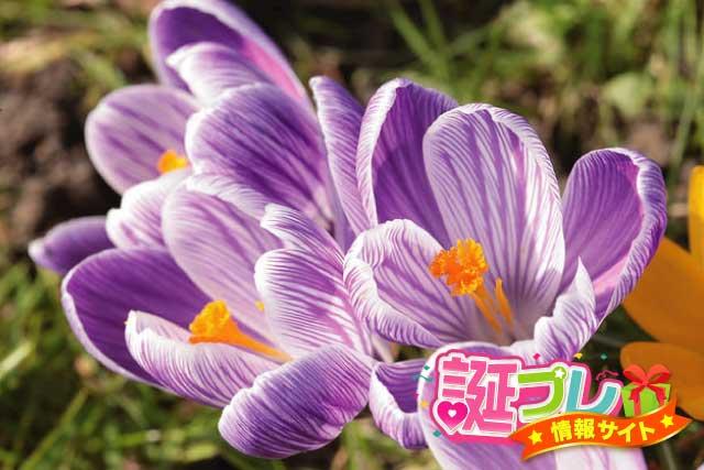 クロッカスの花の画像