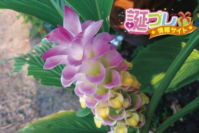 クルクマの花の画像