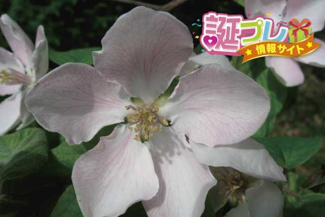 マルメロの花の画像