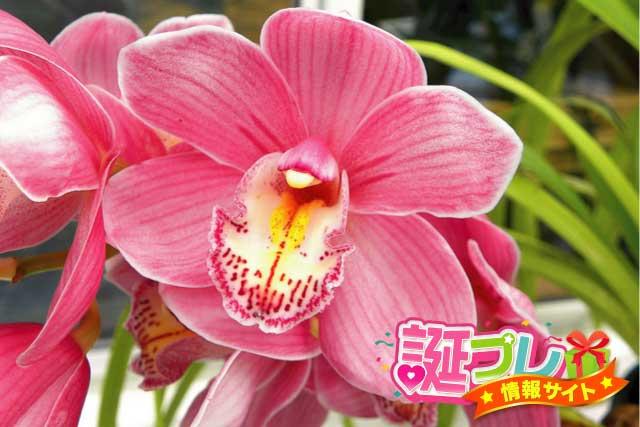 シンビジウムの花の画像